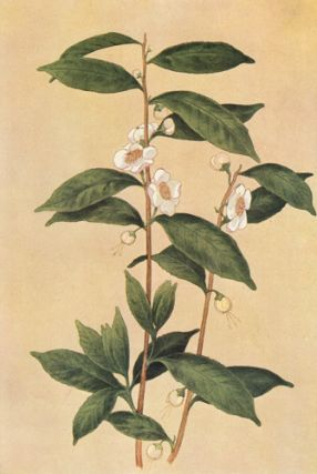 Tea Plant. The Grocer's Encyclopedia. Artemas Ward