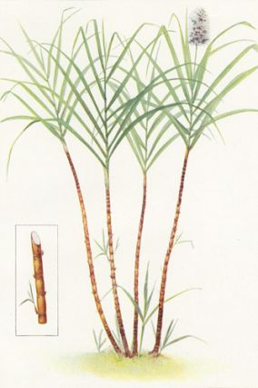 Sugar Cane. The Grocer's Encyclopedia. Artemas Ward