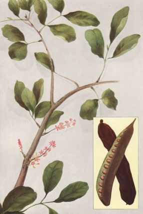 St. John's Bread (Carob Bean). The Grocer's Encyclopedia. Artemas Ward