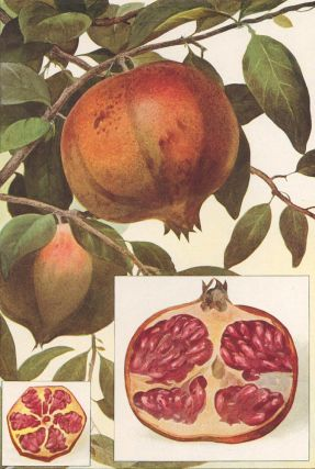 Pomegranate. The Grocer's Encyclopedia. Artemas Ward
