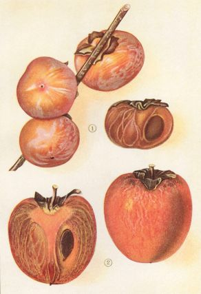 Persimmons. The Grocer's Encyclopedia. Artemas Ward