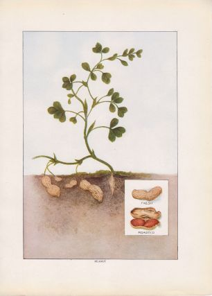 Peanut. The Grocer's Encyclopedia. Artemas Ward.