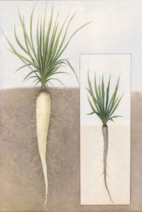 Oyster Plant (Salsify). The Grocer's Encyclopedia. Artemas Ward