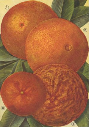 Oranges. The Grocer's Encyclopedia. Artemas Ward