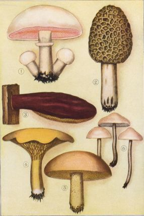 Well Known Examples of Edible Fungi. The Grocer's Encyclopedia. Artemas Ward.