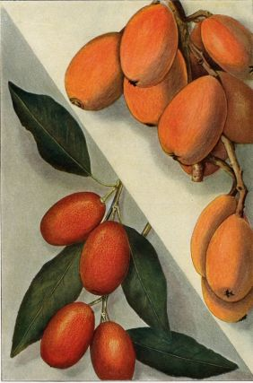 Kumquat and Loquat. The Grocer's Encyclopedia. Artemas Ward
