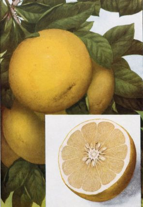 Grapefruit. The Grocer's Encyclopedia. Artemas Ward
