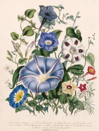 Convolvulus elongatus, Covolvulus tricolor, Ipomea bona nox... The Ladies' Flower Garden of...