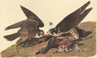 Great-footed Hawk. John James Audubon