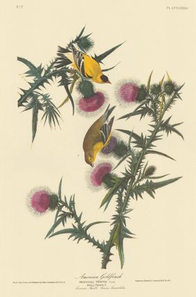 American Goldfinch/Yellow Bird. John James Audubon