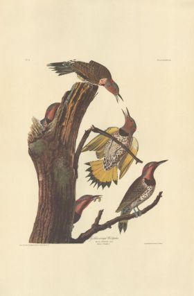 Golden-winged Woodpecker. John James Audubon