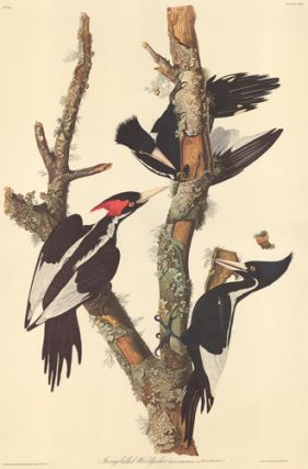Ivory-billed Woodpecker. John James Audubon