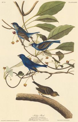 Indigo Bird. John James Audubon