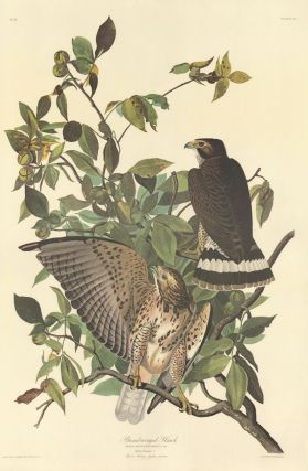 Broad-winged Hawk. John James Audubon