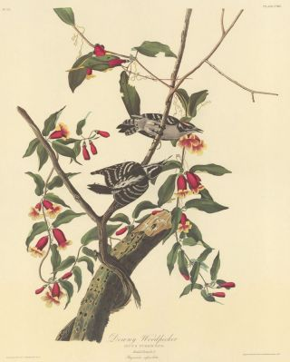 Downy Woodpecker. John James Audubon
