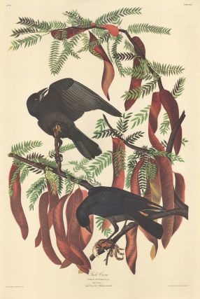Fish Crow. John James Audubon