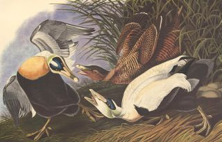 Eider Duck. John James Audubon