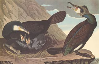Common Cormorant. John James Audubon