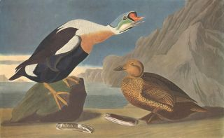 King Duck. John James Audubon