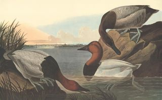 Canvas Backed Duck. John James Audubon