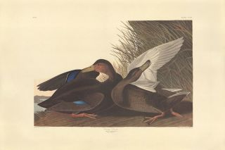Dusky Duck. John James Audubon