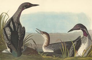 Black-throated Diver. John James Audubon
