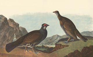 Dusky Grouse. John James Audubon