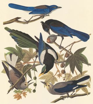 Four Western Corvids. John James Audubon