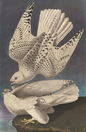 Iceland or Gyr Falcon. John James Audubon