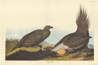 Cock of the Plains. John James Audubon