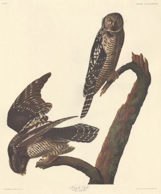 Hawk Owl. John James Audubon