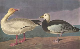 Blue and Snow Goose. John James Audubon