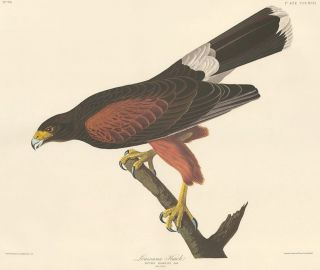 Harris's Hawk. John James Audubon