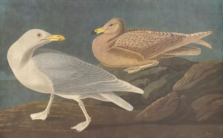 Burgomaster Gull. John James Audubon