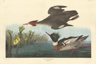 Red Breasted Merganser. John James Audubon