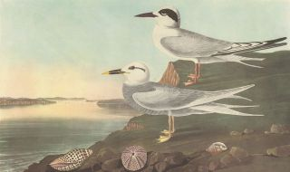 Havell's and Trudeau's Tern. John James Audubon.