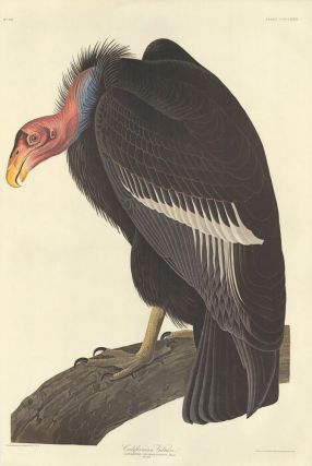 Californian Vulture. John James Audubon