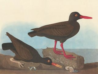 White-legged Oyster-catcher. John James Audubon