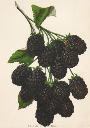 Erie or Uncle Tom Blackberry.