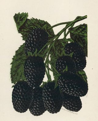 Early Harvest Blackberry. American School