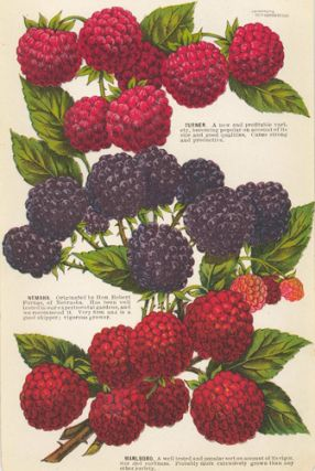 Raspberry Varieties. American School