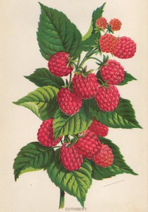 Cuthbert Raspberry. American School