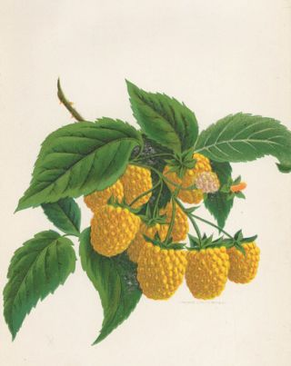 Golden Queen Raspberry. American School