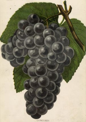 Concord Grapes. American School