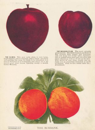 Plum Varieties. American School