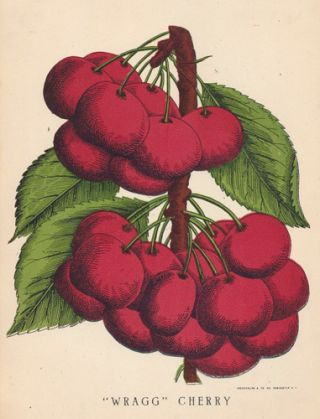 Wragg Cherries. American School