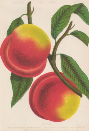 Amsden Peaches. American School