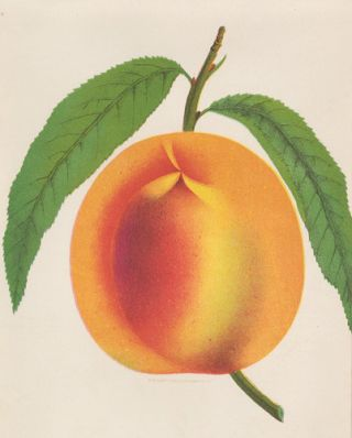 Crawford's Early Peach. American School