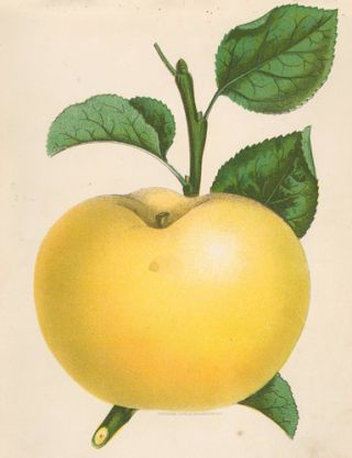 Yellow Transparent Apple. American School