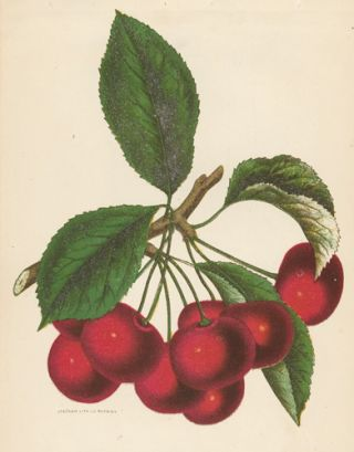Early Richmond Cherries. American School